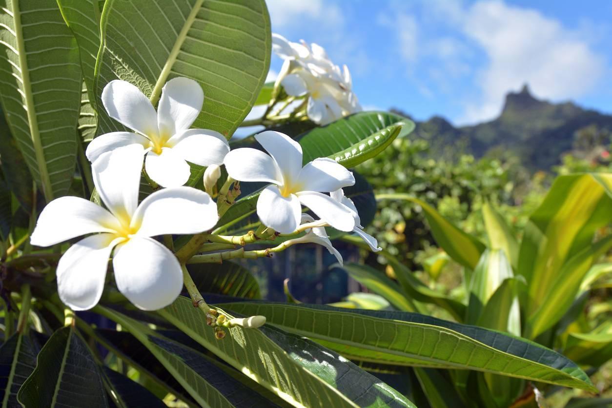 monoi fleur de tiaré