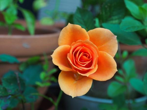 rose-115646_960_720